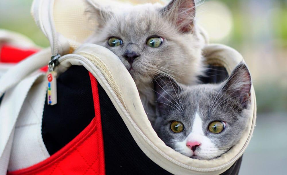 Трансфер для кошек в Москве и Санкт-Петербурге