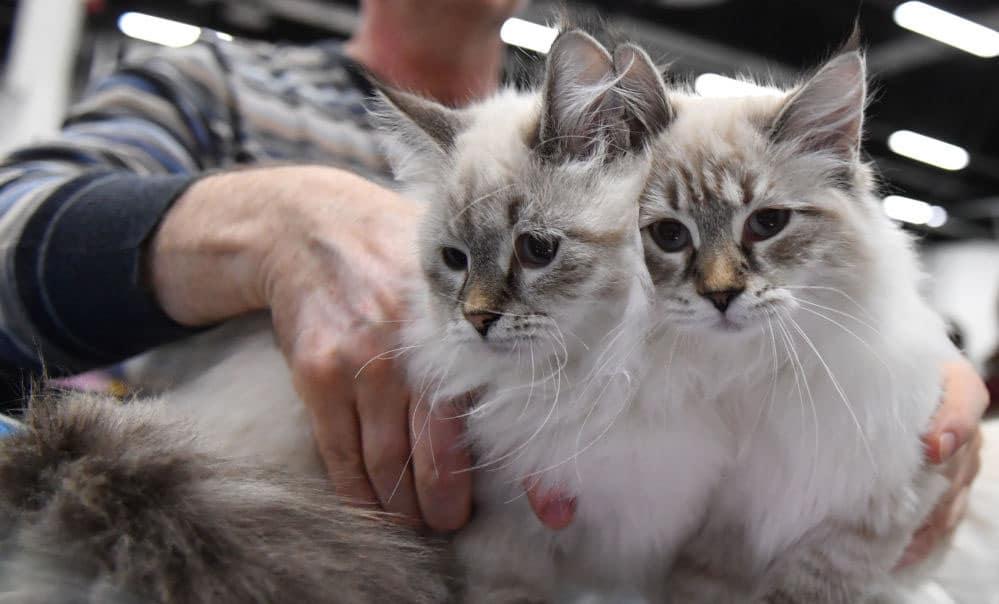 Условия передержки кошек в Москве и Санкт-Петербурге