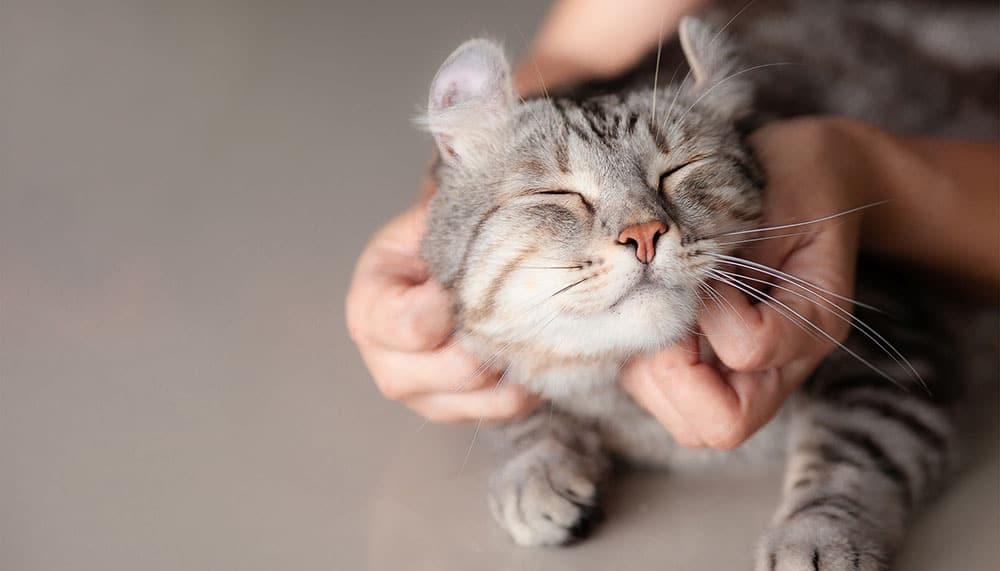 Возьму кота на передержку в Москве и Санкт-Петербурге