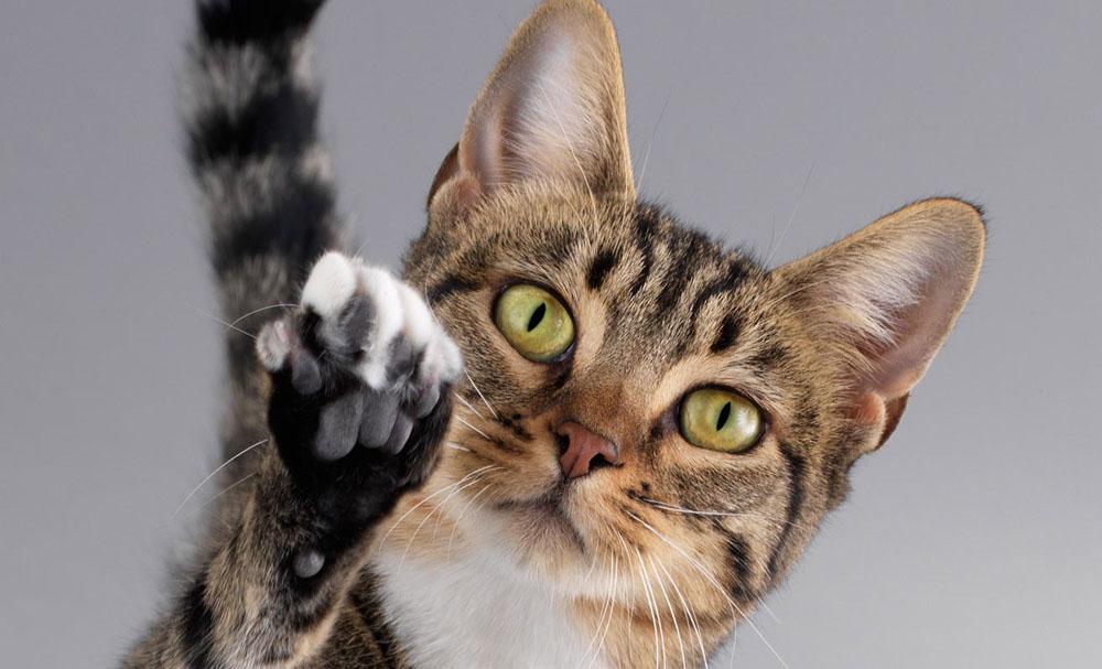 Временная передержка кошек